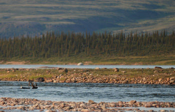 Reindeer crossing the river
