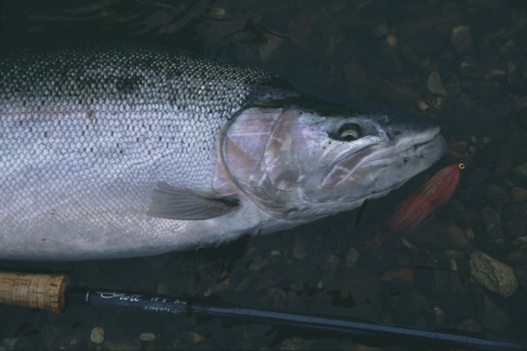 Steelhead portrait